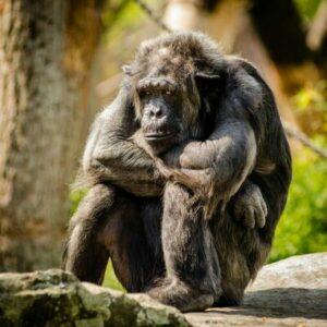 chimpans som sitter och funderar